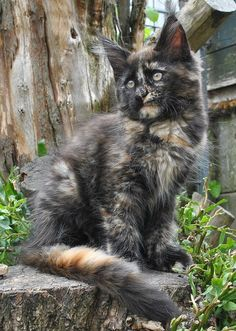 Maine Coon Kitten | Cattery Sheercats' | The Netherlands | www.kittentekoop.nl