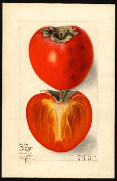 """Artist: Lower, Elsie E., b. 1882 Scientific name: Diospyros Common name: persimmons Variety: Hachiya """"U.S. Department of Agriculture Pomological Watercolor Collection. Rare and Special Collections, National Agricultural Library, Beltsville, MD 20705"""""""