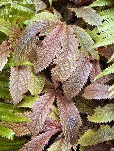 Elatostema rugosum  parataniwha, New Zealand Begonia    A stunning NZ native herbaceous perennial.