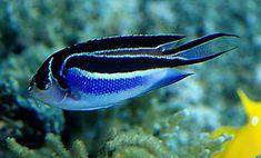 Bellus Angel #TropicalFishSaltwater
