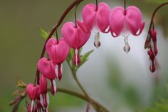 Bleeding heart Little Things, Make It Yourself, Heart, Flowers, Plants, How To Make, Photos, Pictures, Photographs