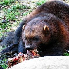 Wolverine enjoying a meal out...