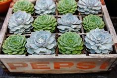 old pepsi bottle box as a container for succulents- really would be cute in any only wooden crate but love the dividers