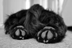 Scottish Terrier feet.