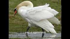 O Cisne