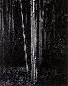 Ansel Adams - Aspens, Northern New Mexico - 1958
