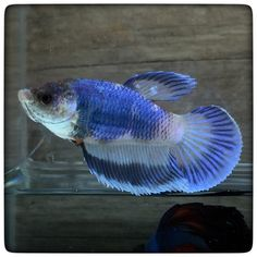1000 images about betta fishy koi nooky on pinterest for Petco koi fish