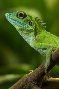 Green Crested Lizard (by San Diego Zoo Global)