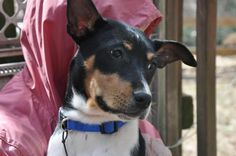 Hi there! I am Odgen a sweet 5-6 months old #purebred Decker #RatTerrier #puppy looking for a home to call my own. I hope to find a family who can give me some good food to eat, a warm bed to sleep in, and plenty of love and attention every day for the rest of my life. http://www.doggielife.com/0GPUOX