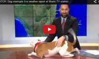 WATCH: Dog interrupts live weather report at Miami TV station Another dog interrupting a weather report and this time it's an American bulldog. What's up with these weather reporting dogs anyways? Lol.