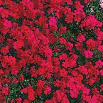 """Red Creeping Phlox.   Semi evergreen Perennial Sun Exposure: Partial Shade/Full Sun Height/Habit:3 - 6"""" Spread:12 - 18"""" Spacing:12 - 18"""" Hardiness Zone:3 - 9 Foliage Type:Semi-evergreen needle-like dark green leaves, 1"""" long; brighter green in spring. Flower Form:Simple 5 petals - 3/4"""" across in small terminal cymes. Flower Color:Red, white, pink or blue Flowering Date:Early to mid spring Planting Requirements:Plant at same depth as it is in the container. Firm soil and water…"""