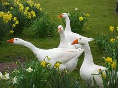 This is a beautiful picture of Gaggling Geese!