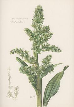 Botanical Print Veratrum album False Helleborine White