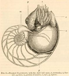 """Pearly Nautilus with the Shell Laid Open Those chambers in the shell are the old """"homes"""" of the nautilus. As the nautilus grows bigger, it expands its shell outward, and forms a septum behind itself as it moves forward. The Animal Kingdom Arranged According to its Organization. Baron Cuvier, 1831."""