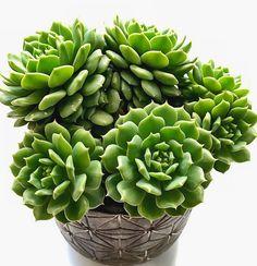 Echeveria 'hyalina'