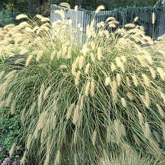 Fountain grass (<i>Pennisetum alopecuroides</i>) - Best Plants for Rain Gardens - Sunset