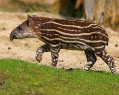One of the oldest Brazilian Amazon animals, the tapir is the world's most primitive large mammal. Also the region's largest land herbivore, the tapir is easily recognized by its unusual proboscis, which functions like an elephant trunk.