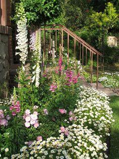 Cottage garden. Like the white daisy border