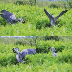 The #hunt and the meal. #shoebill #Entebbe #Uganda #Travel #Africa #canon #70D