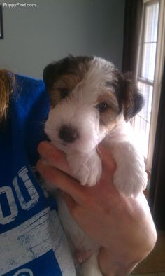 (via Wire Fox Terrier Pictures (0nh122425k8))