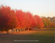 A gorgeous row of brightly colored red trees during the #fall season in Swansea, #Massachusetts.