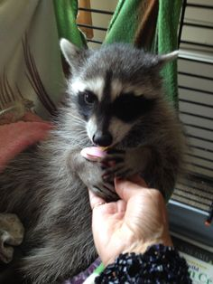 A raccoon rescued. He has his own pacifiers