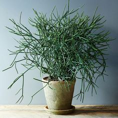* Euphorbia Tirucalli. Pencil Cactus. This can survive almost any amount of abandonment. Sculptural in form, the pencil cactus can be pruned to the will of its caretaker, but be careful, as its milky latex can irritate your skin and eyes.