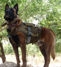 Australian Special Operations MWD Quake - killed by close range insurgent fire after alerting patrol members to enemy positions