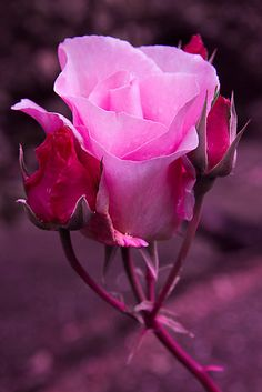 Rose by ollodixital
