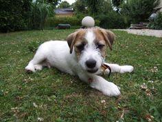 Aston, Jack Russell Terrier