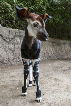 Post with 3684 votes and 164681 views. Tagged with aww, the more you know, blep, okapi; In case you're having a bad day, here's a baby Okapi Unusual Animals, Rare Animals, Cute Baby Animals, Animals And Pets, Funny Animals, Funny Pets, Beautiful Creatures, Animals Beautiful, Mundo Animal