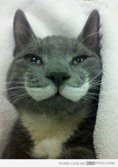 Gato del bigote Majestic