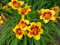 Blackeyed Stella De Oro Daylily  TLR Landscapes • Perennials