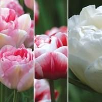 Tulips (double late flowering) 30 Bulbs  | Jersey Plants Direct