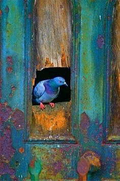 DesertRose,;,beautiful blue pigeon,;,