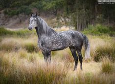Photographs of Lusitano horses in Portugal by Ekaterina Druz Equine Photography