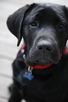 Adorable black labrador... click on pictures to see more