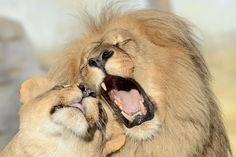 Lions Leon and Ronja get affectionate at Usti nad Labem Zoo in Czech Republic on December 12, 2015. (Photo by Slavek Ruta/REX Shutterstock)