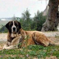 #dogalize Razas de perros: Rafeiro do Alentejo caracteristicas #dogs #cats #pets