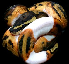 Piebald Ball Python | Snakes and More Snakes: Photo of Piebald Ball Python