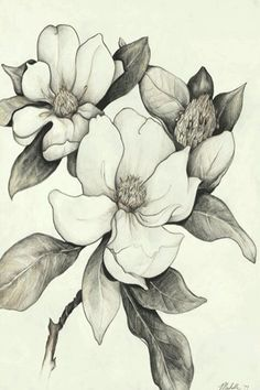 Magnolia tree tattoo u. Pencil Drawings Of Flowers, Flower Sketches, Art Drawings, Draw Flowers, Dogwood Flowers, Flor Magnolia, Magnolia Flower, Magnolia Branch, Illustration Botanique