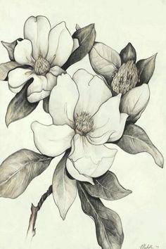 Magnolia tree tattoo u. Flor Magnolia, Magnolia Flower, Magnolia Branch, Pencil Drawings Of Flowers, Flower Sketches, Draw Flowers, Plumeria Flowers, Dogwood Flowers, Illustration Botanique
