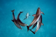 Picture of spinner dolphins in the waters around Bimini in the Bahamas