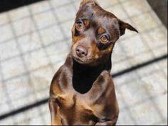 Hazel, a chocolate Minature Pinscher with cropped ears. Mini Pinscher, Miniature Pinscher, Pincher Dog, Min Pins, Dobermans, Jealous, I Love Dogs, Roxy, Cute Puppies