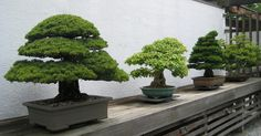 Active Life DC | World Bonsai Day at the National Arboretum