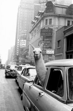 Inge Morath - USA. New York City. 1957. A Llama in Times Square. for Sale | Artspace