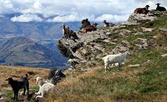 Feral Goats Enjoy the View by Jen Smith - the view in Deer Park Heights, New Zealand