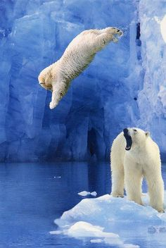 Polar bears having fun - Beautiful picture of polar bear jumping into water.