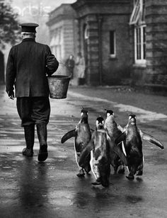 """Penguins Following Zookeeper""   [A zookeeper at the London Zoo, London, England, United Kingdom leads hungry penguins with a pail of food.]~[Photograph credit: Hulton-Deutsch Collection/CORBIS - Photograph dated October 18 1939."