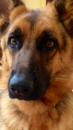 German Shepherd….There is not a more incredible sensation than the eye contact of a German Shepherd…. For Good or bad!!!!